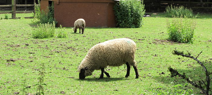 Sheep gently graze - in the neighbouring community farm!